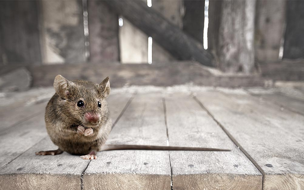 mouse in the attic